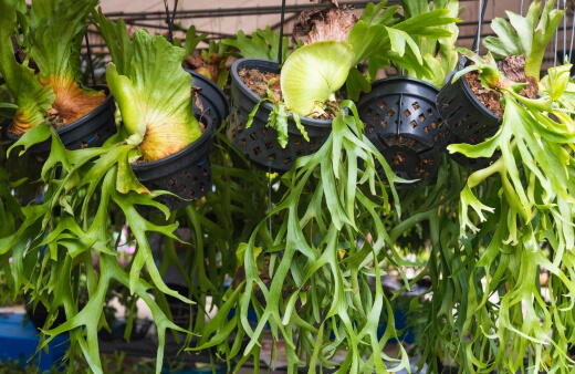 Staghorn Fern is an incredible epiphytic species that not only resembles antlers but gives a distinctive tropical rainforest feel