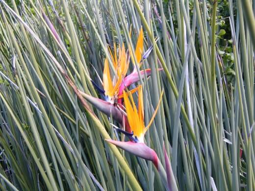 Strelitzia juncea, commonly known as the rush-leaved strelitzia or narrow-leaved bird of paradise in Australia