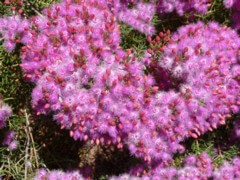 Verticordia monadelpha has the most delightful little pink flowers which bunch together to form beautiful clumps