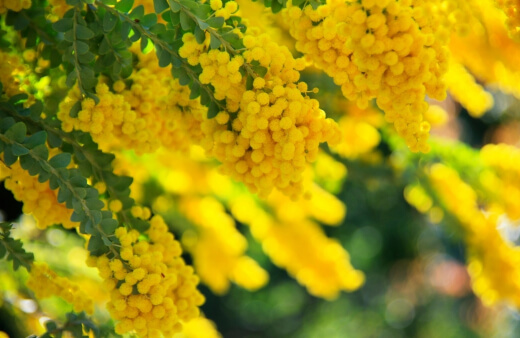 What is Acacia Gold Dust Wattle