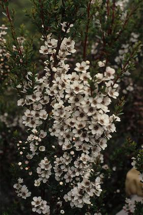 growing leptospermum turbinatum