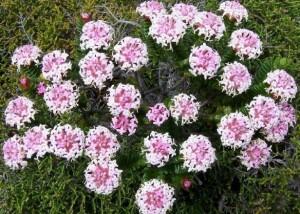 growing pimelea rosea