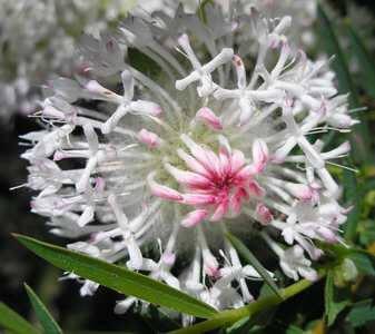 growing pimelea spectabilis