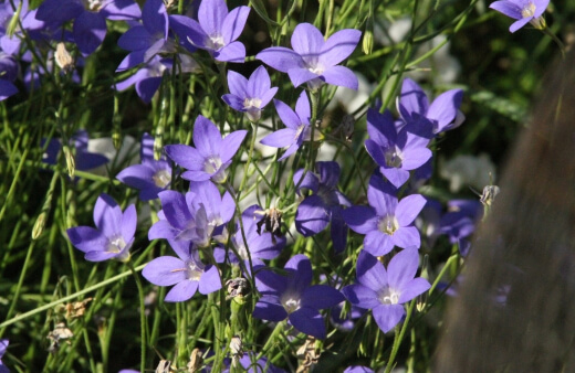 how to grow royal bluebell
