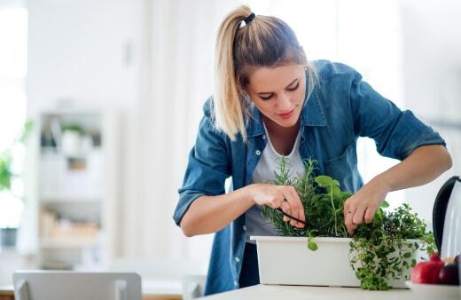 planting herbs indoors