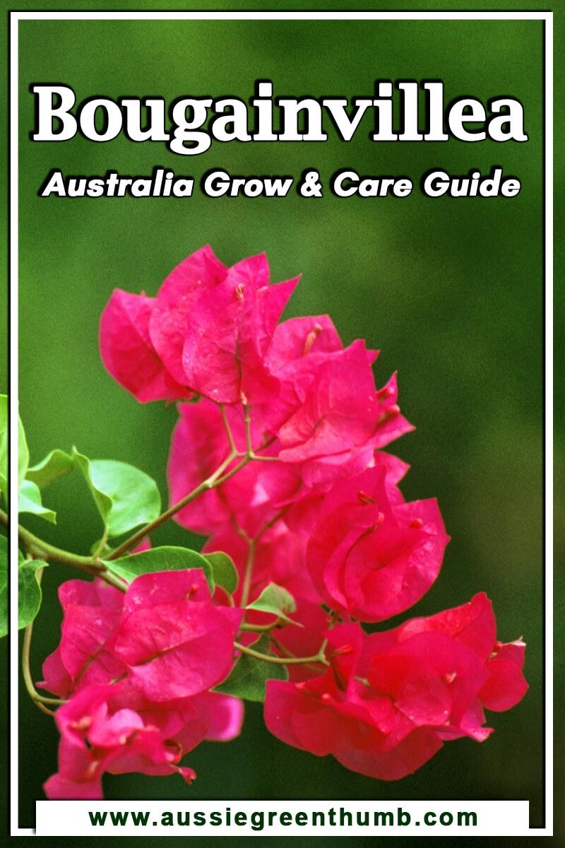 Bougainvillea Australia Grow and Care Guide