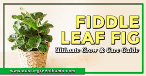 Fiddle Leaf Fig Ultimate Grow & Care Guide