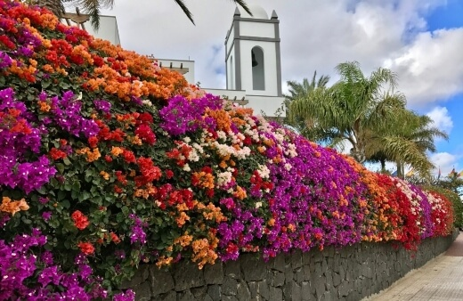 Grow your bougainvillea hedge or plant in full sun