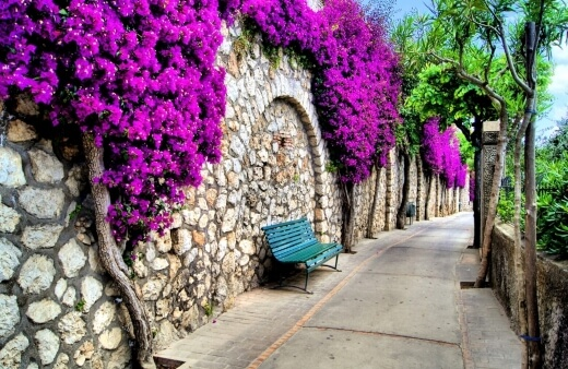 How to Care for Bougainvillea Plants