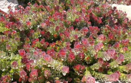 How to Grow Adenanthos Coral Carpet