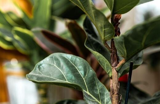 How to Grow Fiddle Leaf Fig Tree