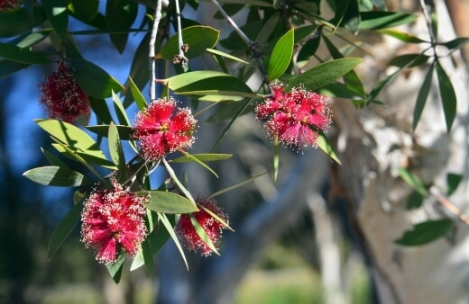 How to Propagate Broad Leaved Paperbark