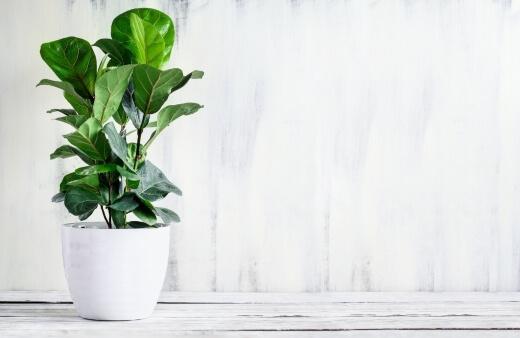 How to Propagate Ficus Lyrata