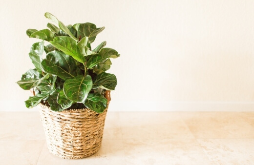 Introducing The Fiddle Leaf Fig Tree