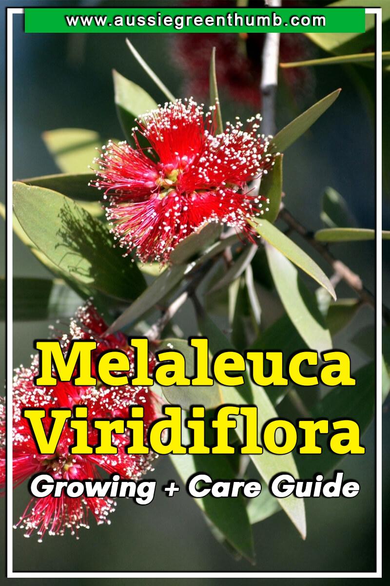 Melaleuca Viridiflora Growing + Care Guide