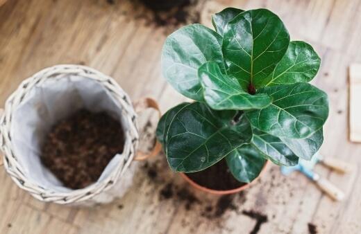Potting Fiddle Leaf Fig